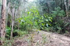 New growth, Bundian Way near Eden, NSW.