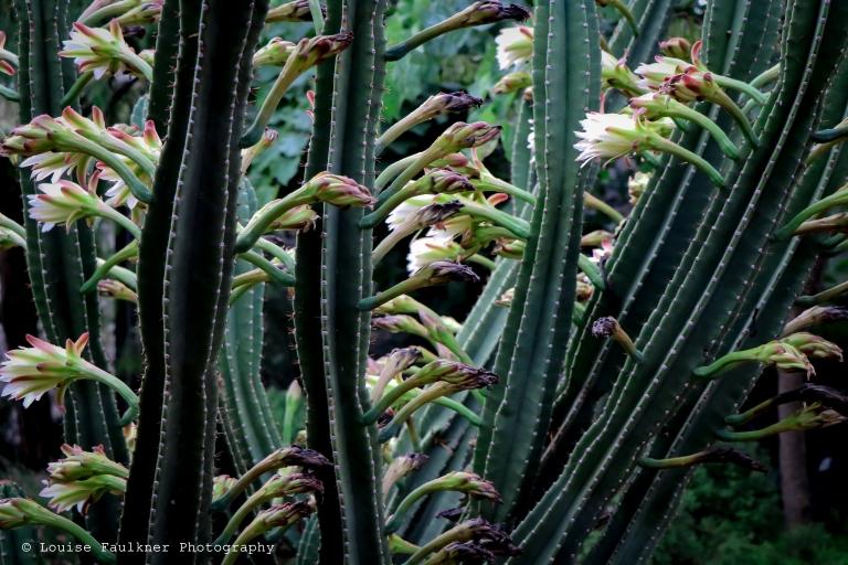 Arboretum cactii lines